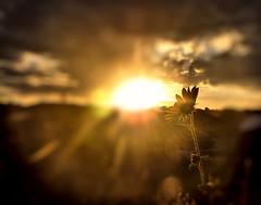 Blinded by the light (miss.interpretations) Tags: sunset sunflower sunshine sunbeam skies lastflower summer night nature outdoors colorado castlerock blinded bright