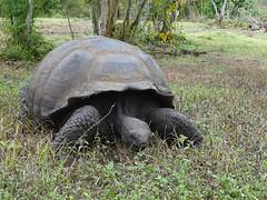 Tortugas Gigantes Isla Santa Cruz Parque Nacional Galapagos Ecuador 05 (Rafael Gomez - http://micamara.es) Tags: tortugas gigantes isla santa cruz parque nacional galapagos ecuador islas