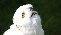 Snowy-owl. (stu.bloggs..Dont do Sundays) Tags: owl snowyowl white wildlife birdofprey goathland northyorksmoors northyorkshire birds bird summer august 2016 portrait yellow eye