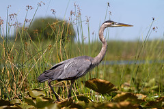 Great Blue Heron (sarasonntag) Tags: blue heron wading bird long lake wisconsin dundee fond du lac county outdoor kayaking paddling