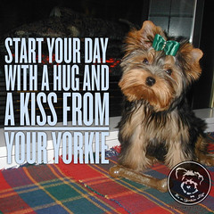 Always. Click LIKE if you do too! (itsayorkielife) Tags: yorkiememe yorkie yorkshireterrier quote