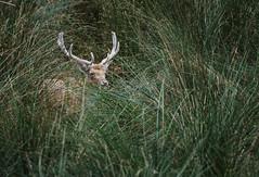 IMGP9590-HDR-Modifier-Modifier-Modifier (breizhpanda) Tags: nature strou daim pentax tamron animaux