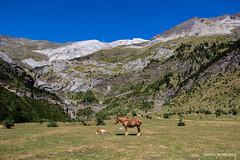 Llanos de La Larri (Daniel Moreira) Tags: parque nacional de ordesa y monte perdido pineta llanos la larri mountains montanhas horses cavalos spain espaa espanha pirineos pirineus pyrenees pyrnes