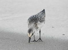Dinner Time (Lori Garske) Tags: sandyhook beach shorebird sandpiper sand lorigarske