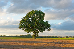 'Tuttle's Oak' (Jonathan Casey) Tags: d810 nikon zeiss 55mm otus f14