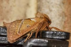 Ol' blue eyes is back! (The Mad Macrographer) Tags: triodiasylvina orangeswift moth insect macro canon7d canonef100mmf28lmacroisusm indoors peterborough uk nikkvalentine