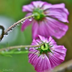 ~~ Pluie sur les Cosmos ~~ (Jolisa) Tags: pluie gouttelettes eau fleurs flowers macro nikon septembre2016