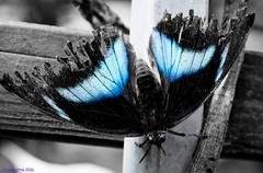 K46A8072-2 (Yvonne23021984) Tags: schmetterling butterfly hamm germany deutschland maxipark markro photography macrophotography canon canonphotography markofotografy canoneos7dmarkii insects insekten nature naturfotografie naturephotography closeup colorkey schmetterlinge butterflies