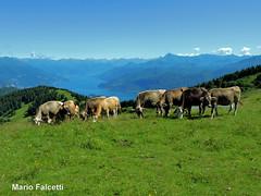 Italy: Como Lake, from Monte San Primo (mariofalcetti) Tags: italy italia lombardia lago lake water acqua lagocomo comolake montagna mountain landscape paesaggio prato meadow cows mucche animal animale