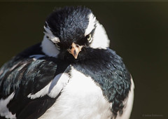 Magpie-lark - bird portrait #3 (aaardvaark) Tags: 201608081d8858magpielark46x33 magpielark grallinacyanoleuca anbg botanicgardens canberra act australia bpx