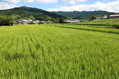 Rice field (Teruhide Tomori) Tags: plant green riceterrace ricefield nara asuka japan landscape         countryside grass