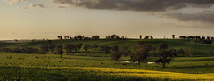 Green_And_Gold_01 (Beetwo77) Tags: fuji xt1 90mm pano panorama hand held autopano cowra canola green gold aussie oi nsw rural countryside sunset tourism