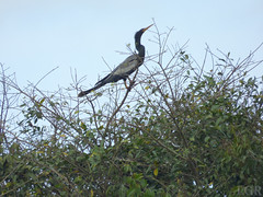 Anhinga anhinga  (Luis G. Restrepo) Tags: p2090715 ave bird colombia casanare patoaguja anhinga anhingaanhinga anhingidae southamerica