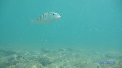 The beauty of the underwater world * fish on the bottom of the sea (George @) Tags: sea underwater bottom sealife nature ocean dive    dip thalassa deep splash submerse snorkel water fishing fish fisherman   blue greek greece  summer aegean  mediterranean  oceanica corals swimming paradise   holidays travel vacation  boat food george eyes papaki