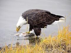 IMG_8770 (savillent) Tags: bald eagle birds marine beach wildlife travel water canon point shoot saville tuktoyaktuk nt canada north arctic september 2016