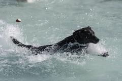 IMG_9406 (kris10pix) Tags: dogpaddle2016 dogs puppies puppy splash pool fetch dog wisconsin capitolk9s mutts purebreed leap madisonwi goodmanspool wetdog summer