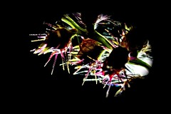 Sandspurs (donjuanmon) Tags: macro macromondays hmm theme donjuanmon sandspur sharp plant backlighted point red green black