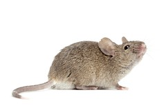mouse close up isolated on white (daniellepearo) Tags: pest isolatedonwhite mouse grey isolated white nuisance pesky dirty unhygienic studio nobody animal mammal horizontal gray copyspace side closeup