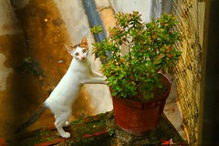 Good morning.. Happy day ahead (samitsinha) Tags: india white west cute cat canon eos feline funny sweet kolkata bengal samit 550d