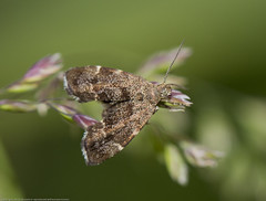 IMG_0192 Nettle-tap Moth (Anthophila fabriciana), Shadowbrook Meadows, Warwickshire W T Reserve, 25 June 2012 (Lathers) Tags: warwickshire anthophilafabriciana canon7d warwickshirewildlifetrust canonef100f28lisusm wkwt nettletapmoth 25june12 shadowbrookmeadows