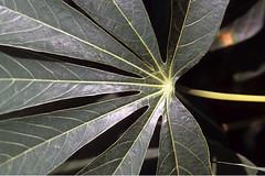 Cassava leaf (IITA Image Library) Tags: cassava manihotesculenta