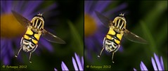 Citroenpendelvlieg - Helophilus trivittatus 307789 cross-view (fotoopa) Tags: macro mirror stereoscopic stereophotography 3d crosseye crosseyed fotografie flight stereo thuis highspeed insecten crossview 3dphotography 3dphoto helophilustrivittatus 3dmacro 3dpicture 3dfotografie highspeedmacro fotoopa 3dfoto citroenpendelvlieg frontmirror dslrstereo frontsidemirror crosseyedphotography 3dbeelden 3dfotoinsecten 3dbeestjes 3dinsecten