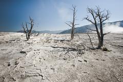 mammoth springs (Santhosh Rajangam) Tags: tree dead mam