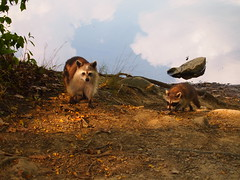What a moment. (Raccoon Photo) Tags: raccoons coons mommy baby family nature natural park hiking exploring animal animals critter motherandchild cuteanimals perfecttiming water reflection reflections outdoor outdoors summer caughtintheact adorable babyraccoon opticalillusion opticalillusions cuties outside forrest woods trail hike unusual unusualraccoon unusualanimal unique beautiful beauty wow amazing incredible pond timing lovely beauties naturalbeauty naturallybeautiful naturallighting greatoutdoors fascinating awe aweinspiring reddit illusion magic majick tricks confusing perfect viral internets wtf how why blackmagic warlock psychic wildlife critters creature ohio northeastohio hinckleyreservation cleveland