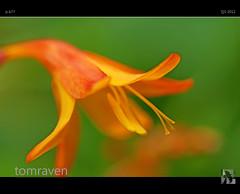 Delight (tomraven) Tags: summer orange flower macro sunshine gold sony delight alpha a77 tomraven bestcapturesaoi aravenimage flickrstruereflection1 flickrstruereflection2 q32012