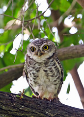 Spotted Owlet - Athene brama (3) (Andy_LYT) Tags: bird thailand spotted chong pak owlet 600mm 600m thegalaxy athenebrama d7000