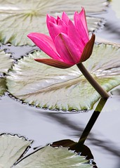 Water Lily (paulgmccabe) Tags: uk flowers england plants kewgardens london water kew pond waterlily lily lillies bigmomma fotocompetition fotocompetitionbronze fotocompetitionbronzewinner