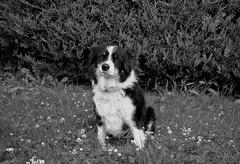 DOG DAY AFTERNOON (simongavin83) Tags: blackandwhite hairy dog cute puppy mutt collie sitting sheepdog hound sit doggy pup doggie obedient workingdog ourdailychallenge nikond5100