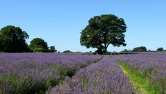 Mayfield Lavender: Woodmansterne (Curry15) Tags: england lavender surrey woodmansterne lavandula banstead sm7 lavenderfield croydonroad mayfieldlavender carshaltonroad