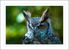 Long Eared Owl (Beta ~ man) Tags: man birds woodland bigeyes feathers beta owl photoart ~ birdofprey falconry longearedowl orangeeyes prettyface wildbirds digitalcameraclub betaman rutlandfalconryandowlcentre nikond7000 rutlandphotoart