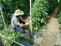 Amy Hepworth demonstrates pruning (NOFA_NY) Tags: field tomato day farm tomatoes hepworth pruning hierloom