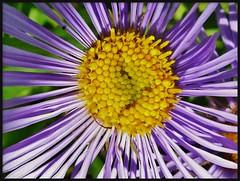 Just another flower (Aster or Fleabane). (France-) Tags: canada macro nature fleur bc framed juillet aster 2012 fleabane vilolet