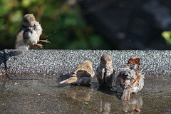 Bathing house sparrows (Ron and Co.) Tags: house bird sparrow bathing juvenile washing domesticus passer