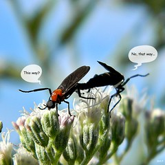 Lovebug Problems (bob in swamp) Tags: love florida insects bugs palmbeachcounty diptera lovebugs plecia plecianearctica junodunesnaturalarea taxonomy:family=diptera taxonomy:binomial=plecianearctica