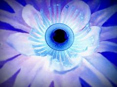 dramatic pretense (Star, LaikazEyes: zazzle.com) Tags: blue black flower petals silk violet fake plastic negative inverted processed dsc06122 laikazeyes