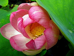 behtet ~ waterlily ( the-best-is-yet-to-come ) Tags: thegalaxy photosandcalendar flowersarebeautiful excellentsflowers natureselegantshots mimamorflowers flickrflorescloseupmacros panoramafotogrfico thebestofmimamorsgroups theoriginalgoldseal flickrsportal