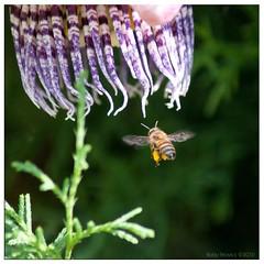 Time to work (Boby Pirovics) Tags: sony flor bee boby passionfruit maracuj braganapaulista a700 alpha700 sonyalpha700 bobypirovics