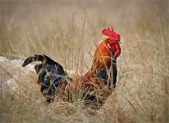 Sa majesté II (Sandrine Bron) Tags: red portrait chicken nature field farm wildlife cock ferme champ coq farmyard flickrchallengegroup flickrchallengewinner sandrinebron