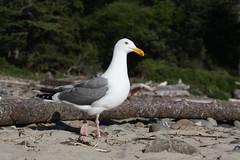 Herring Gull on the Beach (Adventures with E&L) Tags: bird beach oregon gull larusargentatus herringgull shortsandsbeach oregoncoasttrail