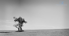 Middle of nowhere (Kevin Vyse Photography) Tags: summer blackandwhite ontario canada tree art landscape alone image space solo single woodstock 2012 kvphotography singletreeinalandscape