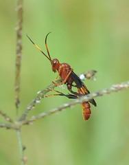 Ichneumon Wasp (jwinfred) Tags: macro nature mississippi nikon sigma insects delta 300mm cypress preserve greenville d300 ichneumoninae trogus