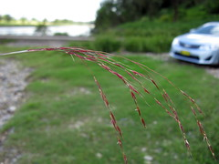 Chrysopogon filipes flowerhead12 (Macleay Grass Man) Tags: grass native australian poaceae vetiver filipes chrysopogon