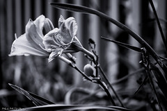 framed (Mark McD Photos) Tags: blackandwhite bw plant flower monochrome day dof framed sony depthoffield lillies shallow alpha narrow nex 3518 nex5 markmcdphotos