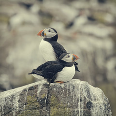 look right look left (Black Cat Photos) Tags: sea 2 two cliff cute bird nature look rock canon islands stand wildlife pair right edge sit both puffin left sidebyside farneislands colony seabird lookleft lookbothways lookright bof farnes innerfarne farns lookrightlookleft farnislands