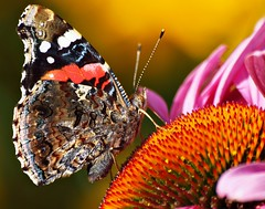 Flora und Fauna (Andy von der Wurm) Tags: plant flower macro animal closeup fauna butterfly germany insect