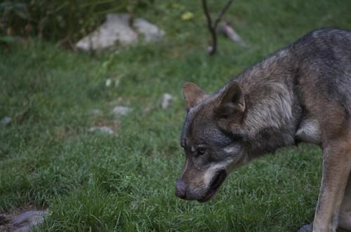Les loups du parc Alpha
